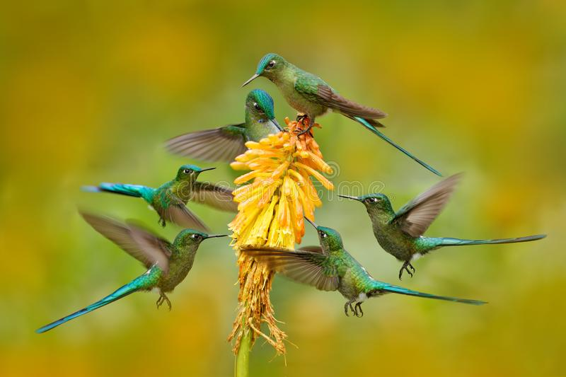 Flock of bird sucking nectar from yellow flower. Hummingbird Long-tailed Sylph eating nectar from beautiful yellow bloom in Ecuado. R stock photo