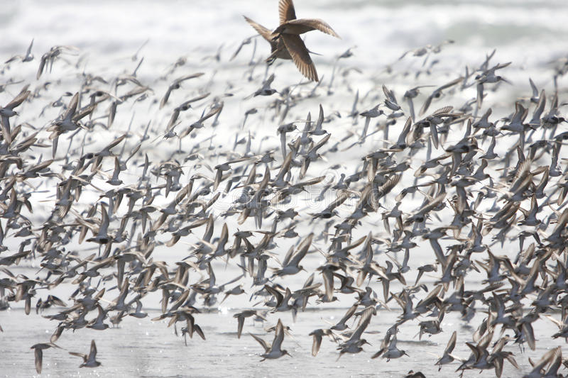 Flock of birds. At the beach stock images