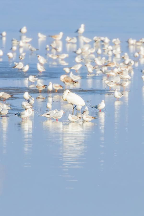 Flock of birds on the blue lake in golden light at sunset. Wildlife royalty free stock photos