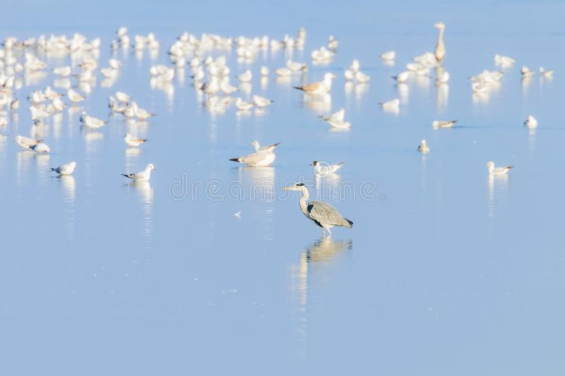 Flock of birds on the blue lake in golden light at sunset. Wildlife stock photography