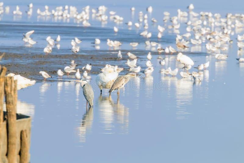 Flock of birds on the blue lake in golden light at sunset. Wildlife stock photos