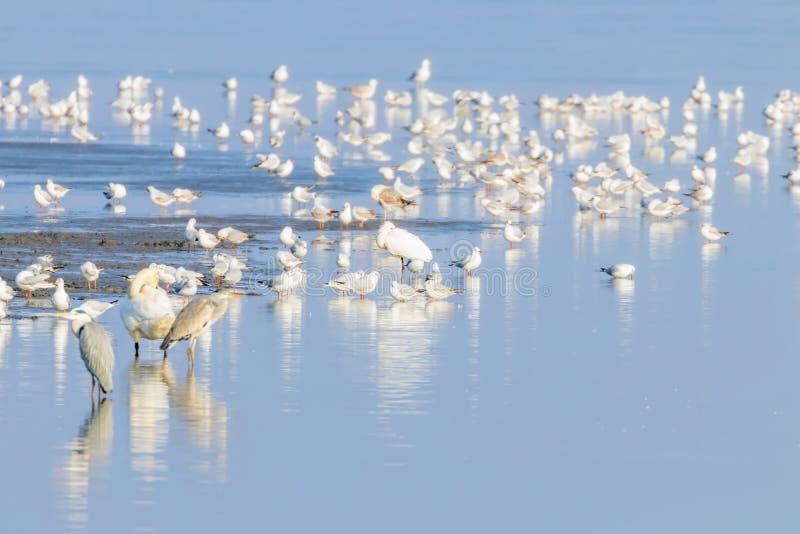Flock of birds on the blue lake in golden light at sunset. Wildlife stock image