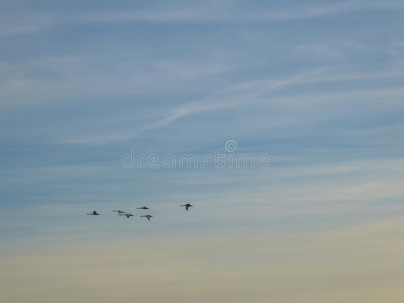 Iceland - A flock of birds forming a key formation. A flock of birds crossing the morning sky. A group of birds forms a nice formation. The birds migrate to a royalty free stock photo