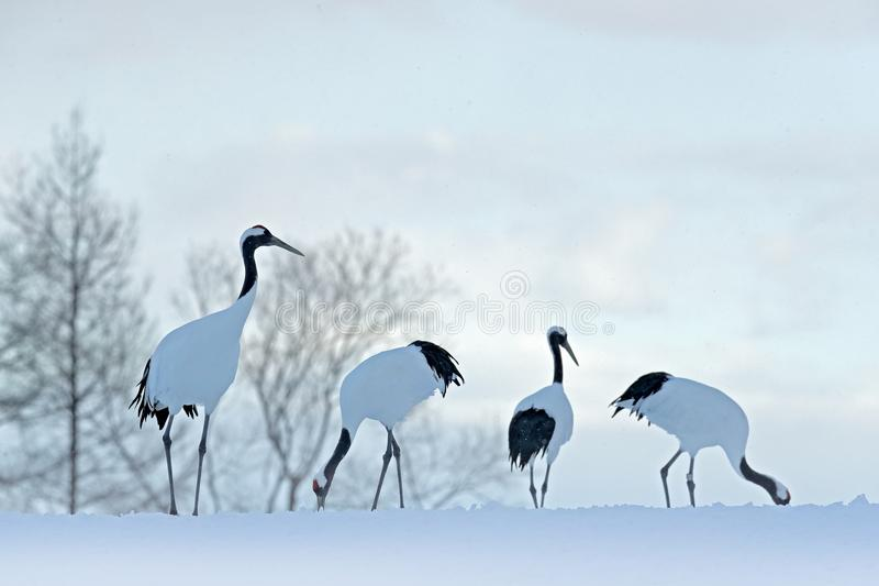 Flock birds dancing. Flying White birds Red-crowned crane, Grus japonensis, with open wing, blue sky with white clouds in backgrou. Nd, Hokkaido, Japan. Cranes stock images