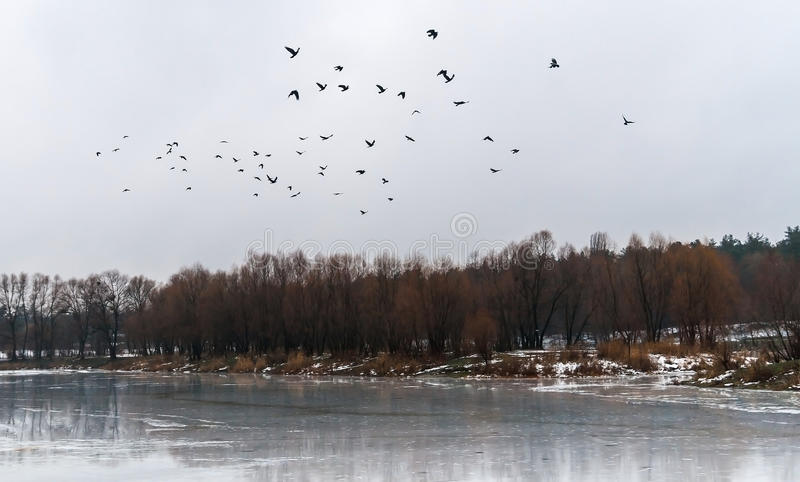 flock of birds flew up on the ice lake and snowy forest landscape royalty free stock photo
