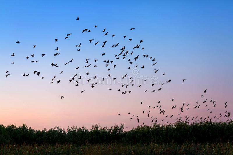 Flock of birds. Flying over the field in susnet light royalty free stock image