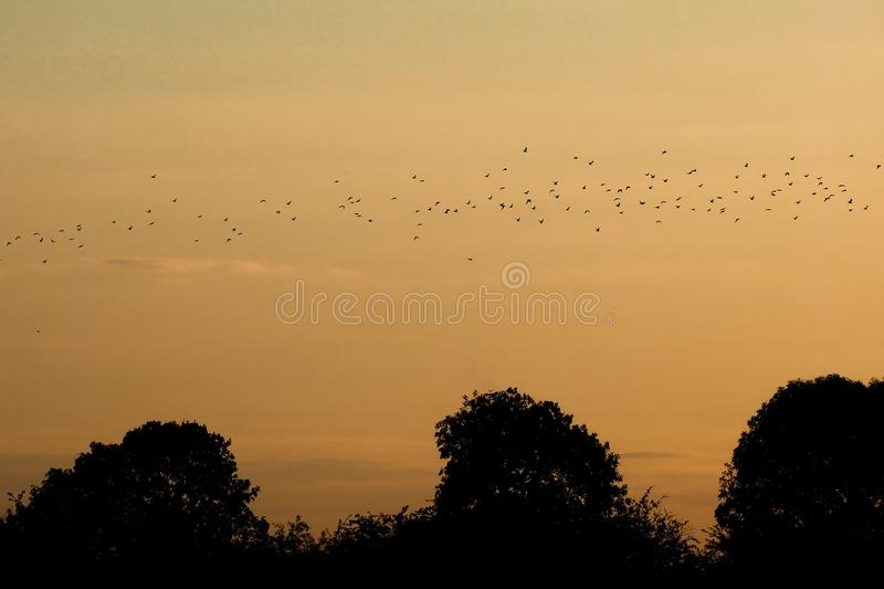 Flock of birds flying above the silhouettes of trees at sunset in Lower Saxony. Germany stock photo