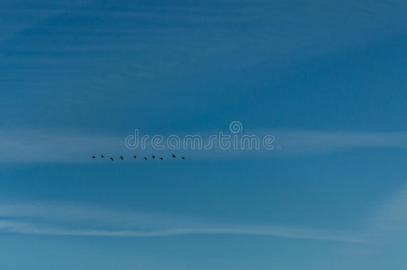 A flock of birds flying in the blue sky.  stock image
