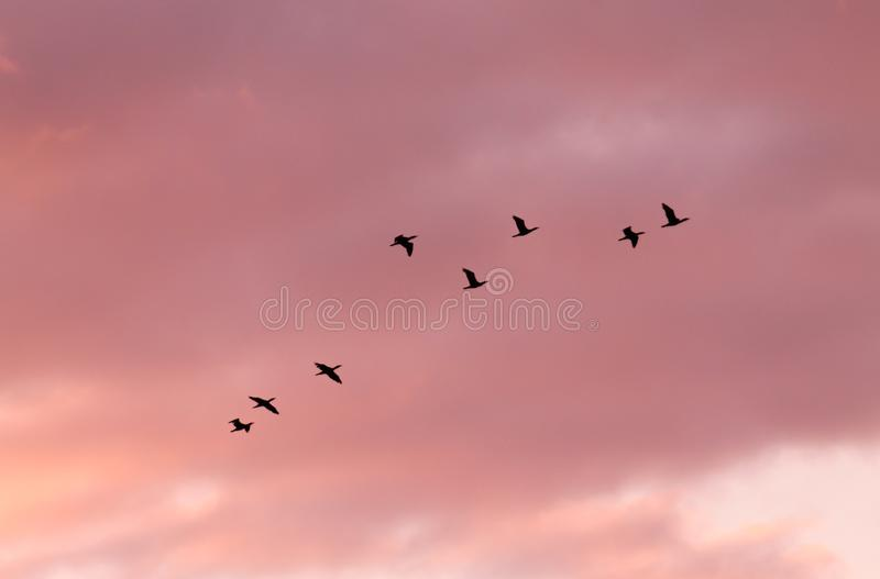 Flock of birds flying. In the evening sky royalty free stock photo