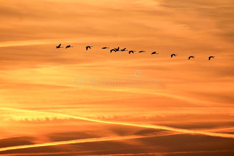 Flock of birds flying at sunset royalty free stock images