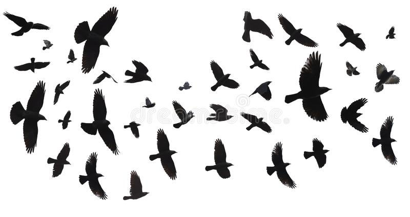 Flock of birds isolated stock images