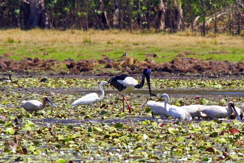 A flock of birds in Kakadu National Park. Australia royalty free stock photo