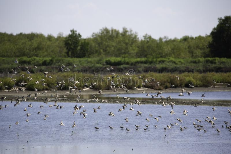 A flock of birds that live in wetland area. Near the sea and mangrove forest stock photo