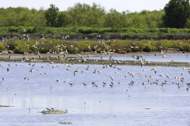A flock of birds that live in wetland area. Near the sea and mangrove forest royalty free stock photography