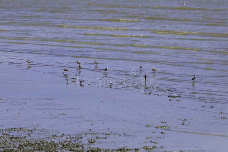 A flock of birds that live in wetland area near the sea. Thailand stock photos