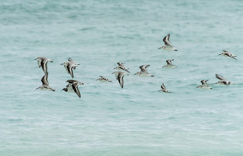 Flock of birds over Caribbean sea. A flock of birds flying over the Caribbean sea royalty free stock photography