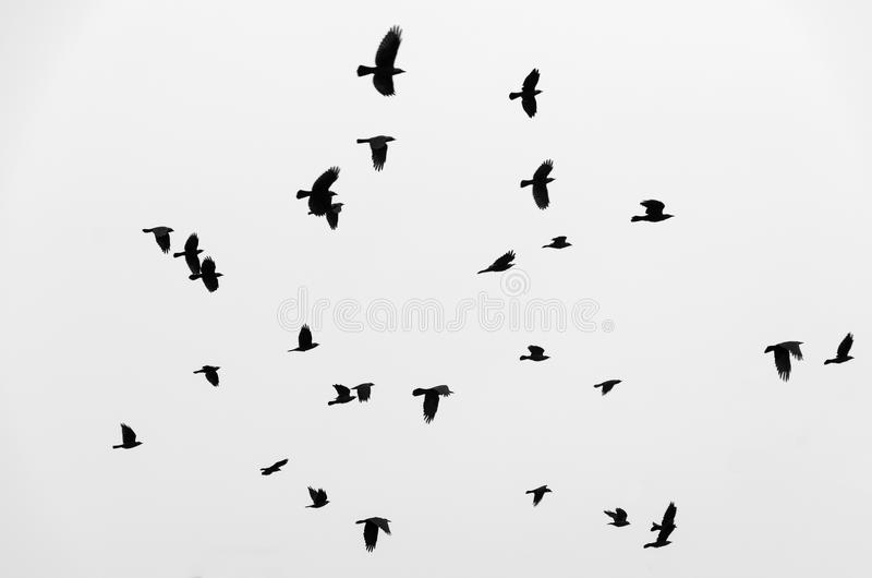 Flock of birds ravens flying in sky. Black and white photo. stock photos