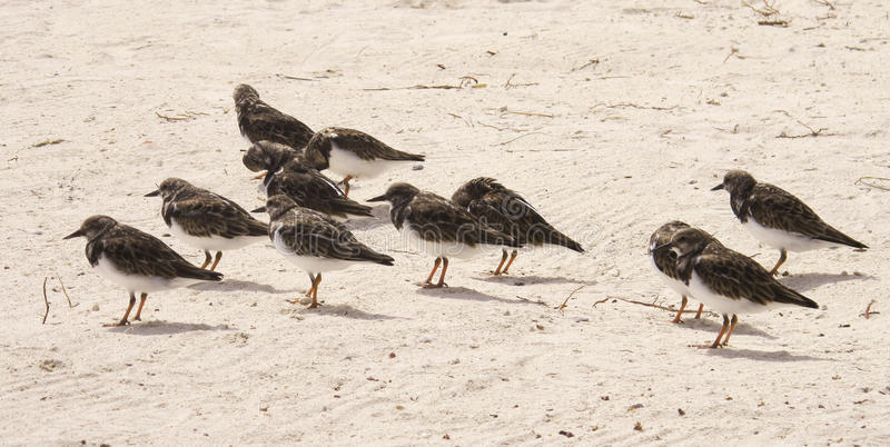Flock of birds. A flock of birds sitting on the south ocean beach stock images