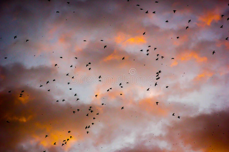 A flock of birds in the sky at sunset stock photos