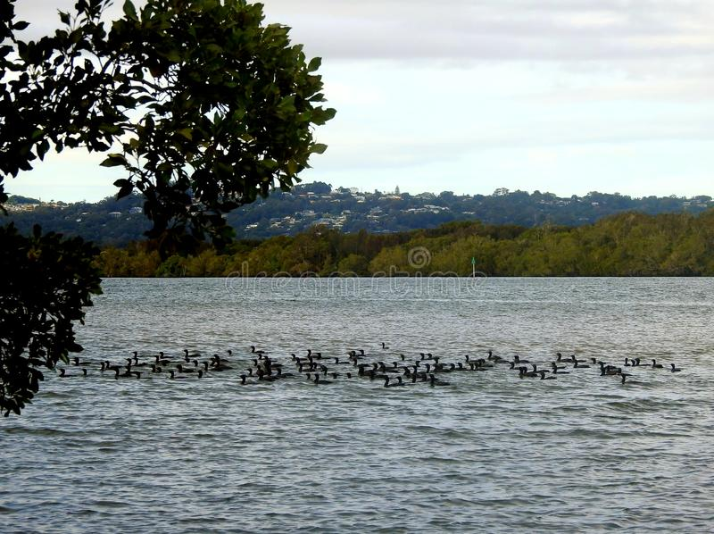Flock of birds wading maroochy river. Flock of birds wading at maroochy river stock photos