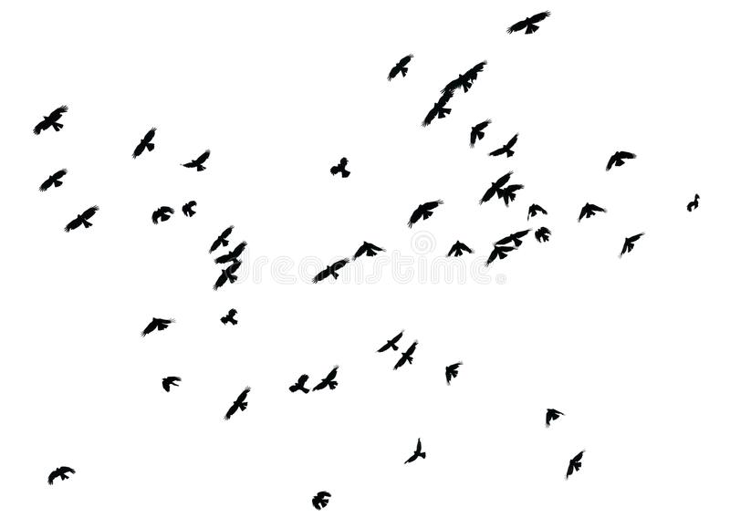 Flock of birds on white background, isolated stock images