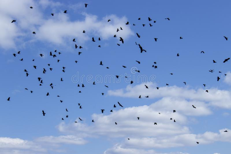 A flock of black birds on the background of the cloudy sky. A lot of birds crow jackdaw rook royalty free stock photos