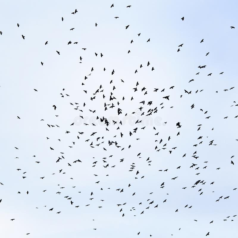 Flock of black birds, rooks circling high in the blue sky backg stock photo