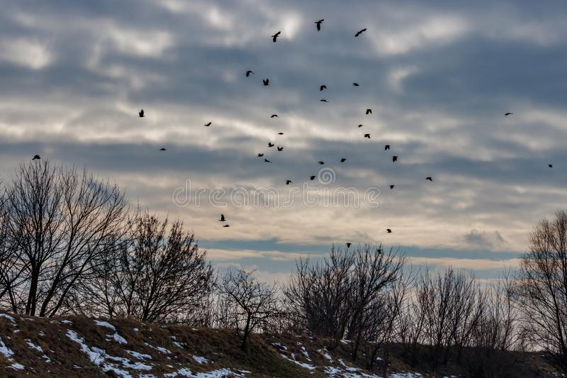 Flock of black crows flies against sky with dramatic clouds in winter day stock photos