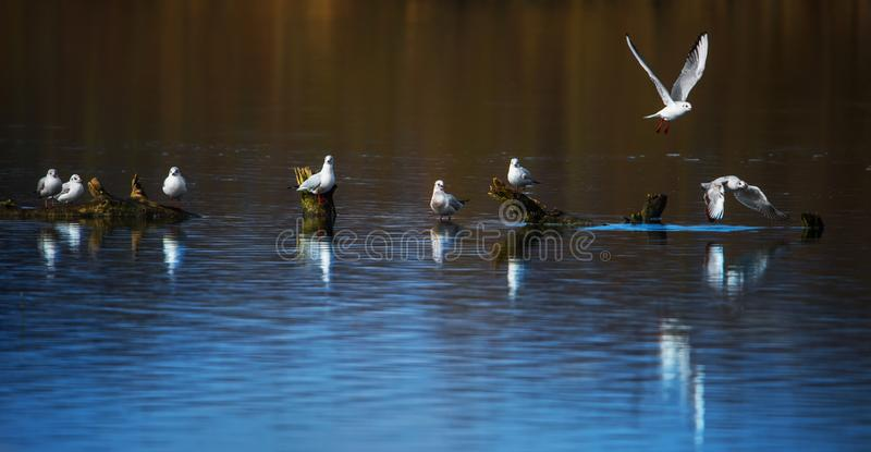 Flock of black-headed gulls are sitting on tree trunks and reflecting in the lake royalty free stock image