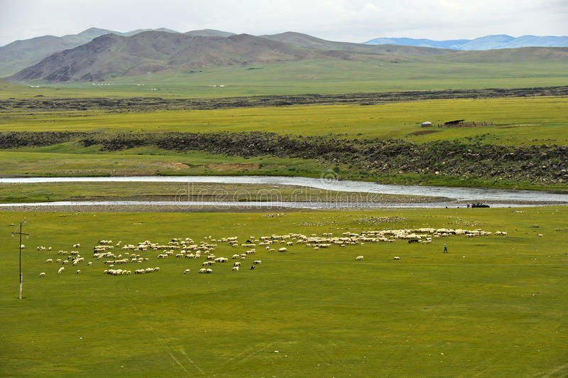 Flock of black sheep grazing on a vast plain in the Orkhon Valley royalty free stock photo