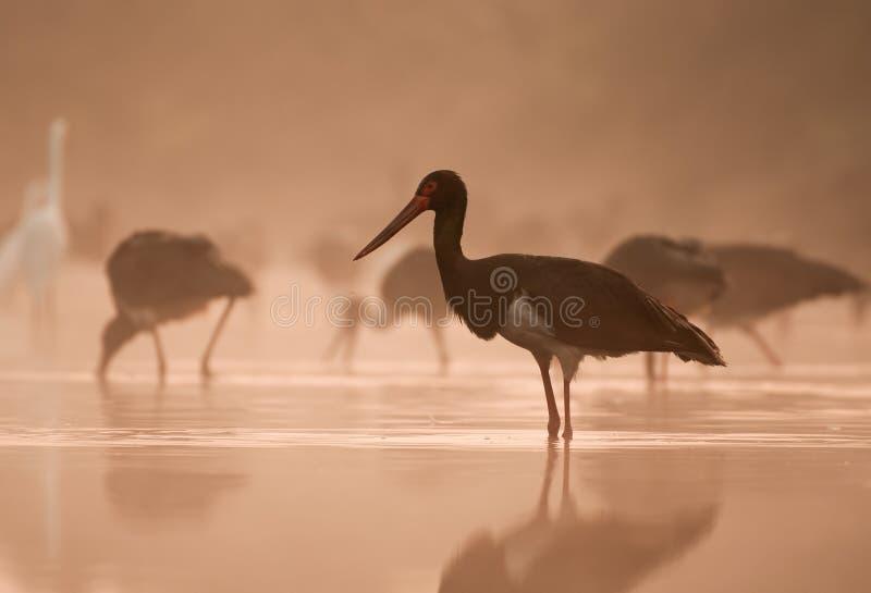 Flock of black Storks Fishing at sunrise royalty free stock image