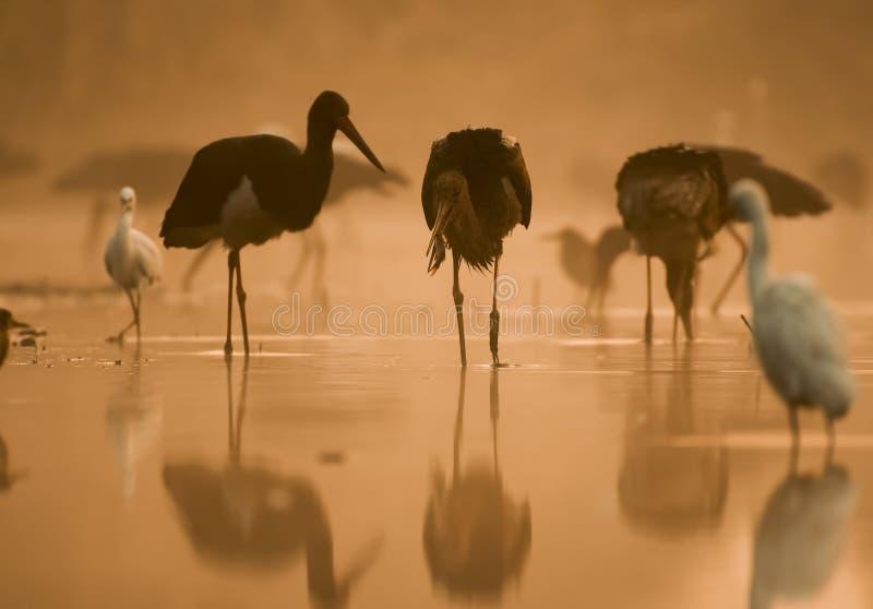 Flock of black Storks Fishing at sunrise stock image