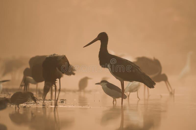 Flock of black Storks Fishing at sunrise stock photo