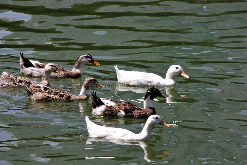 A flock of black and white ducks swiming in the Lake royalty free stock images