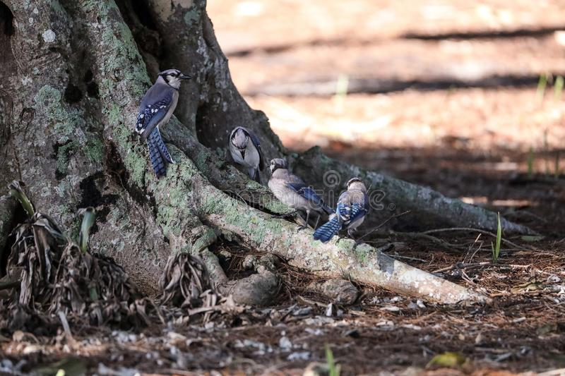 Flock of blue jay birds Cyanocitta cristata. Perched along a tree in Naples, Florida stock image