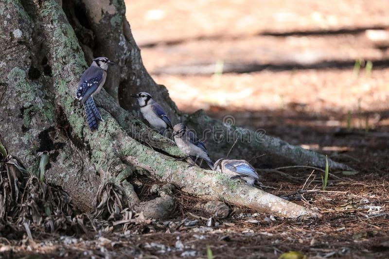 Flock of blue jay birds Cyanocitta cristata. Perched along a tree in Naples, Florida royalty free stock image