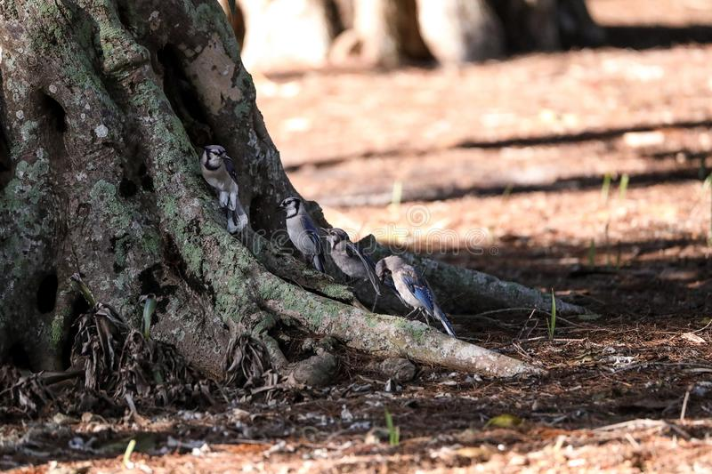 Flock of blue jay birds Cyanocitta cristata. Perched along a tree in Naples, Florida stock photography