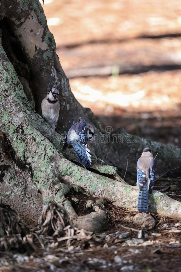 Flock of blue jay birds Cyanocitta cristata. Perched along a tree in Naples, Florida stock images