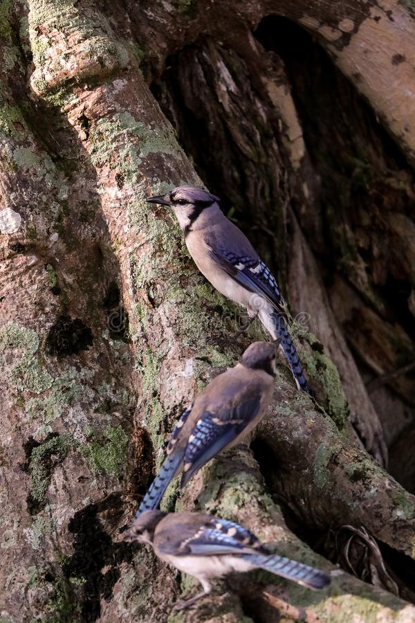 Flock of blue jay birds Cyanocitta cristata. Perched along a tree in Naples, Florida stock photo