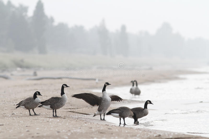 Flock of Canada Geese at Beach stock photography