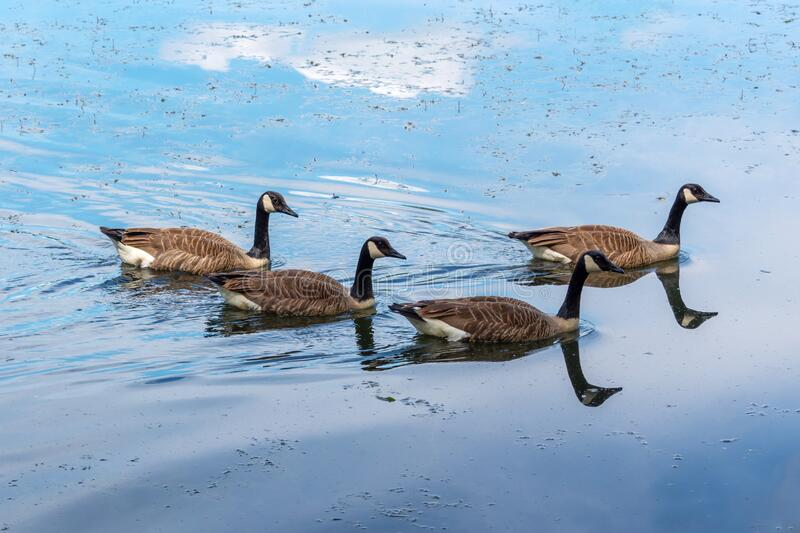 Flock of Canada geese Branta canadensis on a lake royalty free stock photography