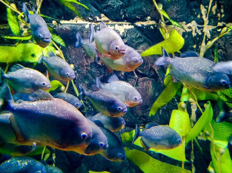 Flock of Piranhas in the aquarium stock images