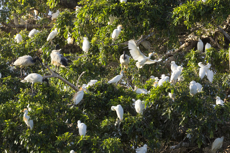 Flock of cattle egret and sacred ibis in tree. A large flock of cattle egret and sacred ibis nesting in a wild fig tree. Sunset royalty free stock photos