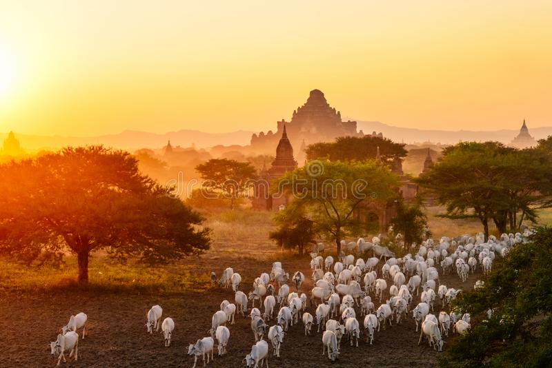 Flock of cattle moving among pagodas in Bagan, Myanmar royalty free stock images
