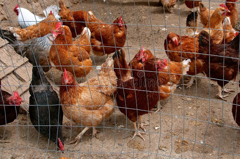 Flock of chickens and roosters. Penned up in a wire netting outdoor cage stock photos