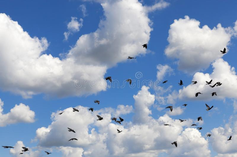 Flock of clouds. Flying in the background of a blue sky with white cumulus clouds black flock of a raven, closeup royalty free stock image