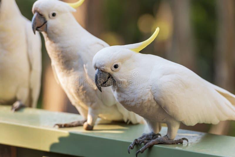 Flock Of Cockatoos royalty free stock photo