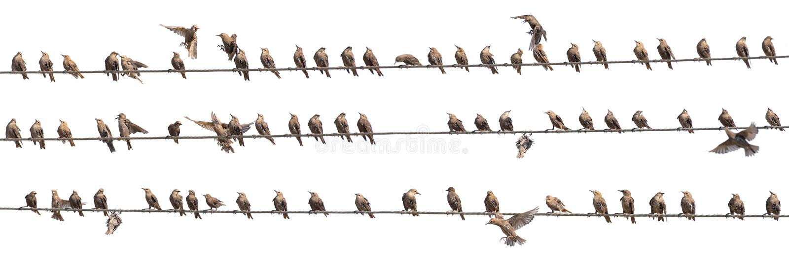 Flock of Common Starling, Sturnus vulgaris,on electricity wires. A lot of birds on white background.  stock images