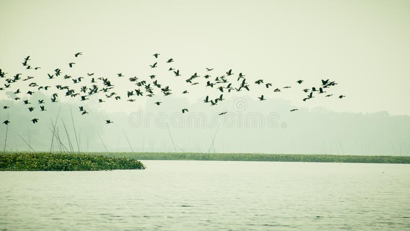 Flock Of Cormorant Shag Birds Flying Over Lake In Winter. Migratory waterfowl fly on their way back to their nesting places, the. Day about to end in Evening stock image