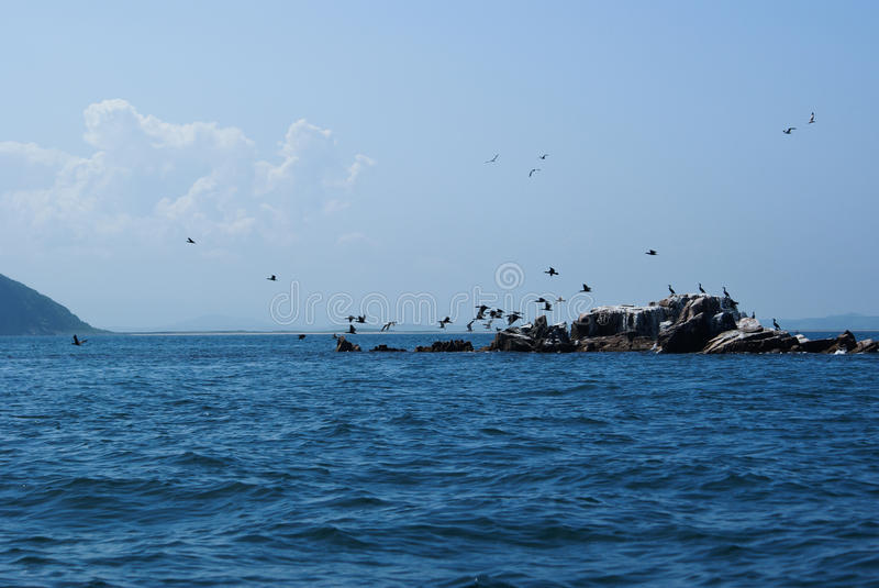 A flock of cormorants taking off from a small island. Phalacrocorax. Japan of Sea. stock photos